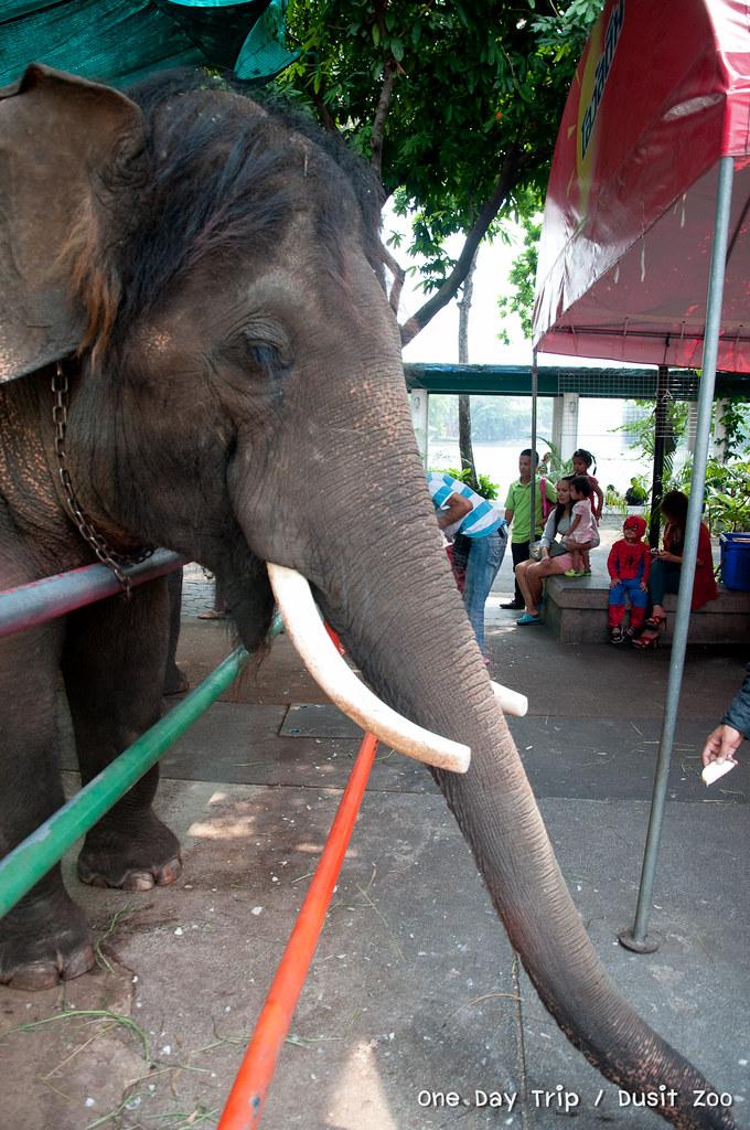 Dusit zoo - ช้าง