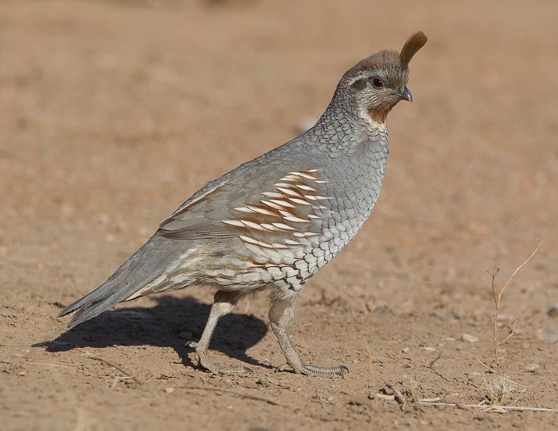 quails - photo #32