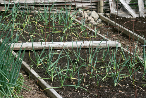 April garlic 012
