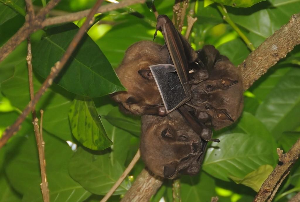 Tent-making Bats & Common tent making bat   Iwokrama River Lodge