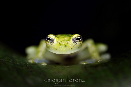 Glass Frog by Megan Lorenz