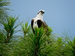 Male Osprey, Wall Springs, FL