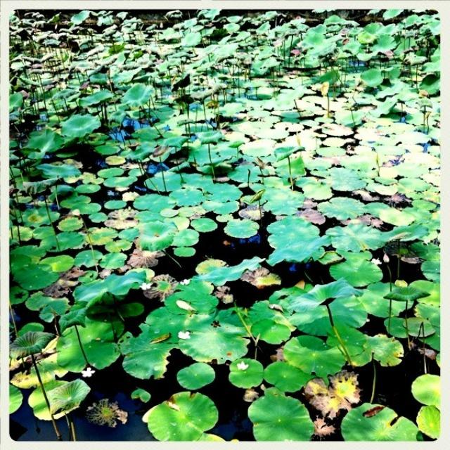 lotus pond- fl