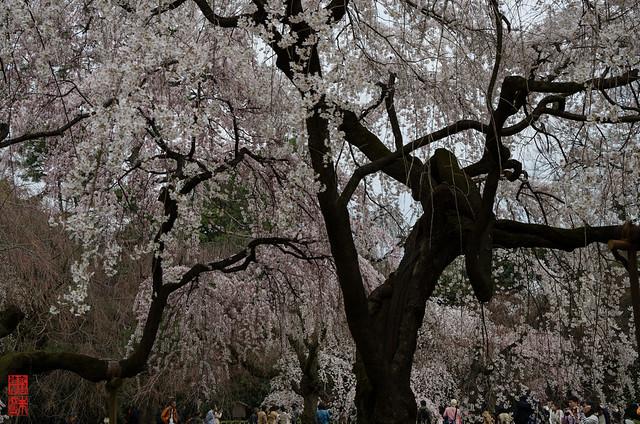 「花見」 京都御苑 - 京都