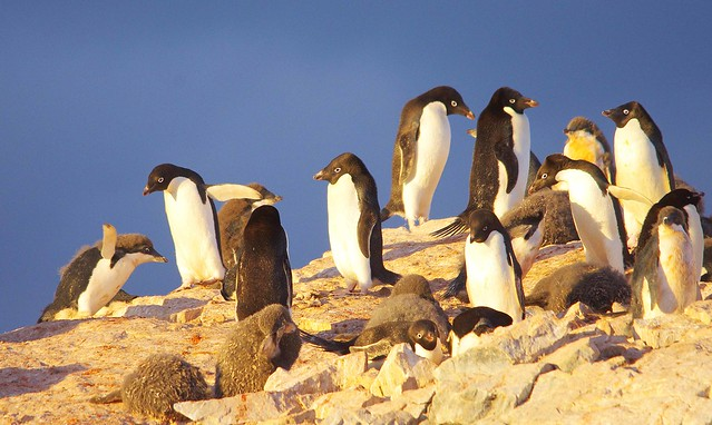 Antarctic Wildlife: Adelie Penguins with chicks
