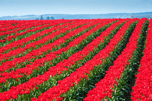tulips blooms skagitvalley