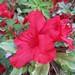 Au jardin, azalea japonica rouge naine, Bosdarros, Béarn, Pyrénées Atlantiques, Aquitaine, France. ©byb64