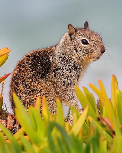 IMG_9837 Ground Squirrel
