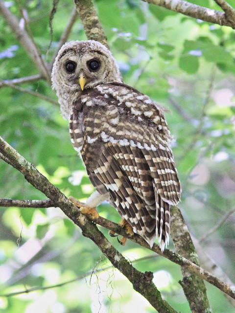 Barred Owl juvenile 20140421