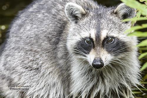 florida raccoon audubonsociety audubon corkscrewswampsanctuary corkscrewswamp corkscrewsanctuary commonraccoon northernraccoon swampsanctuary northamericanraccoon paulfernandez raccoonnorthern raccooncommon raccoonnorthamerican