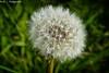 Pusteblume / Dandelion
