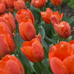 The Orange Balloon Darwin Hybrid Tulip which blooms mid spring and was used as a substitute for the