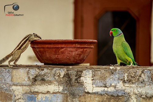 A indian palm squirrel and parrot