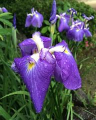 ハナショウブ 花菖蒲 Iris ensata var. ensata. #flower #rain @ #弥厚公園