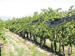 Exceso de humedad: el Inta recomienda tratar plantaciones frutícolas y vitícolas