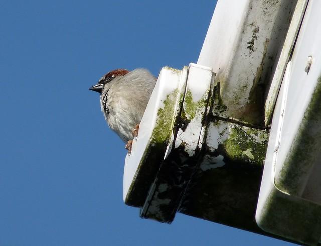 25583 - House Sparrow