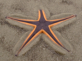 Astropecten articulatus, Stafford Beach, Cumberland Island National Seashore, Camden County, Georgia 1