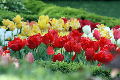 Tulips by Flower Factor