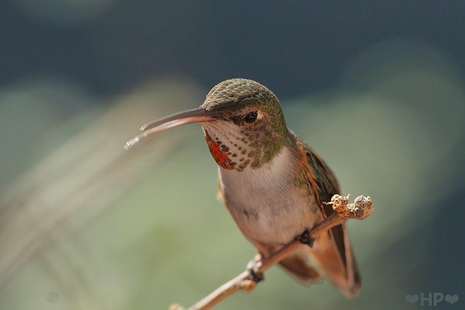Allen's Hummingbird 031012