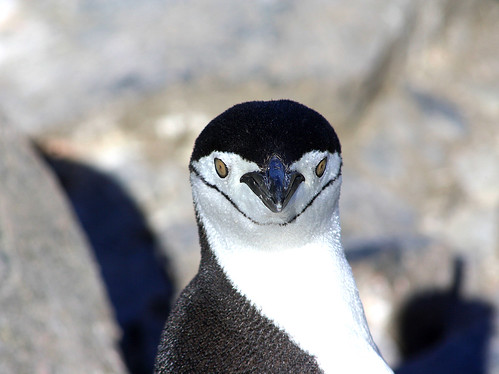 ID photo of Mister Chinstrap penguin by Jo Sze