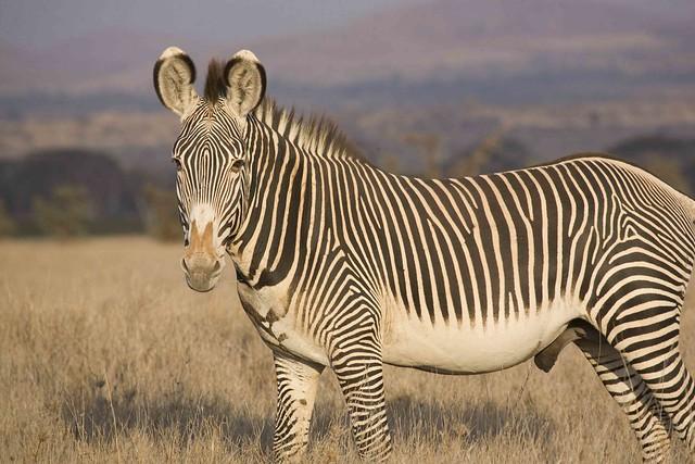 Grevy's Zebra_7069