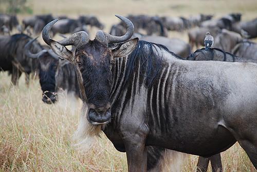 Gazelle Face Kenya OCC