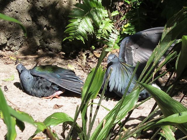 Nicobar Pigeons sunning