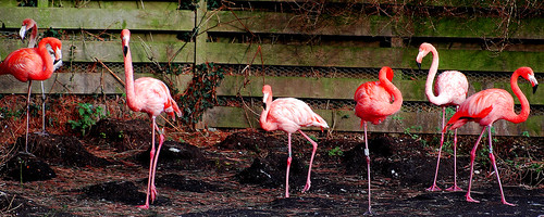 Caribbean Flamingos at wetland Llanelli, Carmarthenshire. Wales - UK