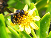 Florida Keys: Carpenter Bee?