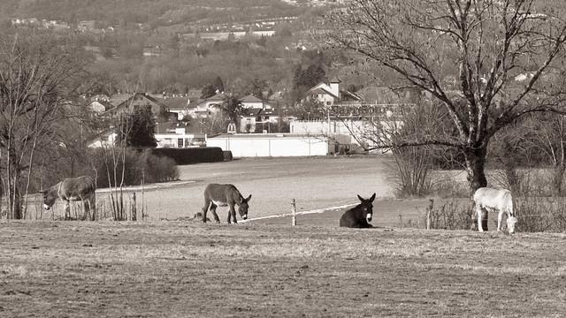 Donkeys I