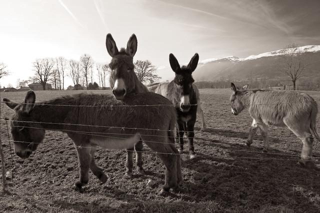 Donkeys IV