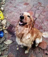 dog breed(1.0), animal(1.0), dog(1.0), mammal(1.0), english cocker spaniel(1.0), spaniel(1.0), golden retriever(1.0), american cocker spaniel(1.0),