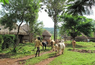 Typical mixed crop-livestock farming of western Kenya