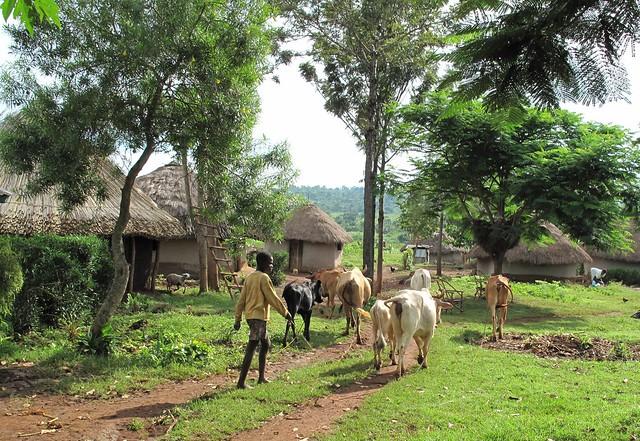 Typical Mixed Crop Livestock Farming Of Western Kenya