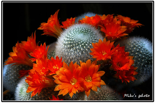 Orange blooming cactus