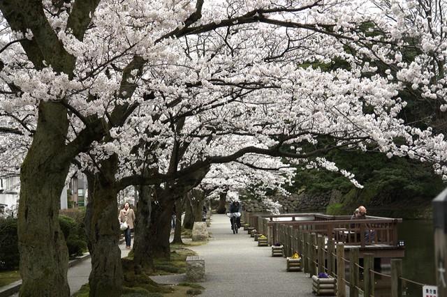 金沢城跡公園の桜