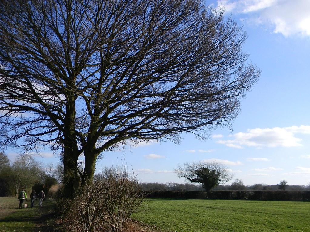 Imposing tree Chesham to Great Missenden