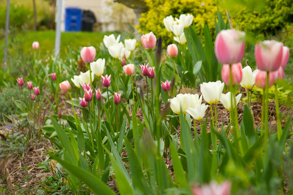 tulip  1423
