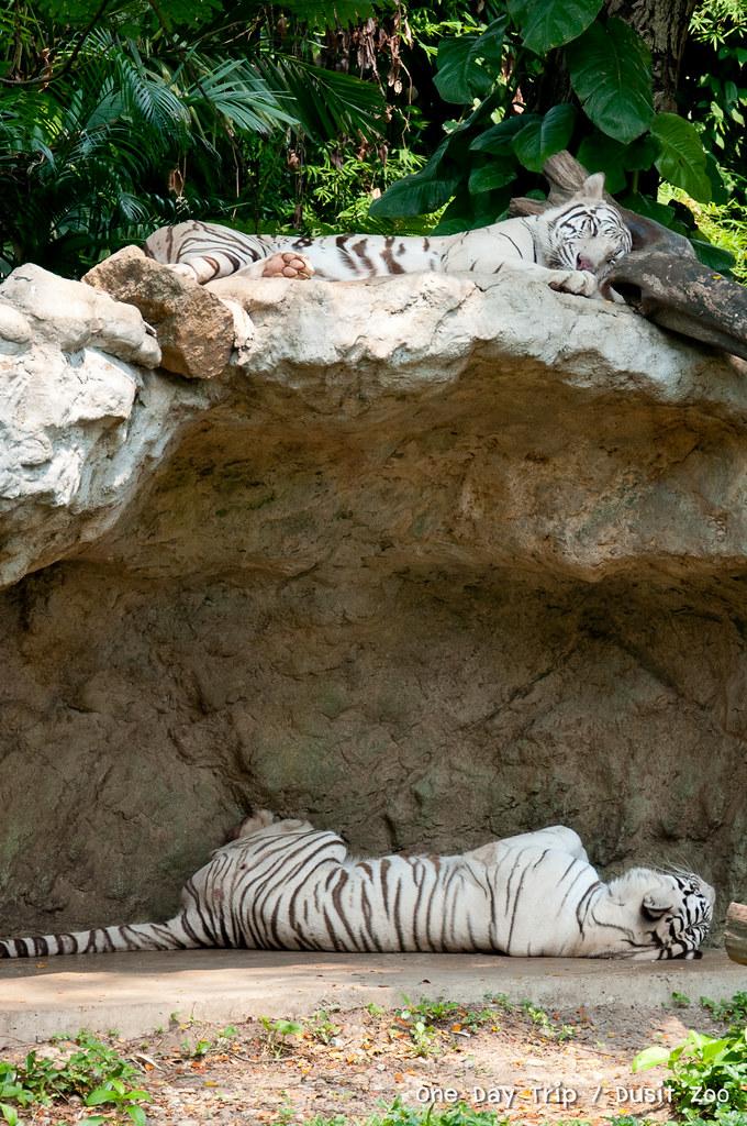 Dusit zoo - เสือนอนหลับ