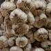 Garlic Bunches at Etla Market - Oaxaca, Mexico por uncorneredmarket