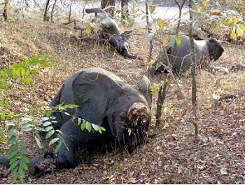 喀麥隆 Bouba Ndjida 國家公園內的大象屍體。(國際動物福利基金會(IFAW)/提供)