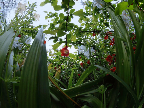 Flowering quince and Iris Japonica in the garden