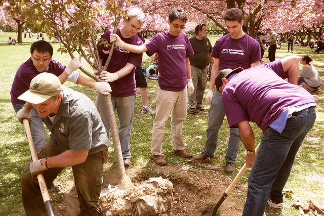Volunteers had to remove a tree stump before planting a new cherry tree.  Photo by Kathryn Littlefield.