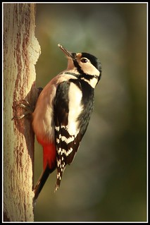 Great spoted woodpecker