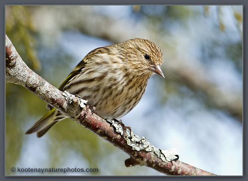 birds bc pinesiskin siskin carduelispinus westcreston