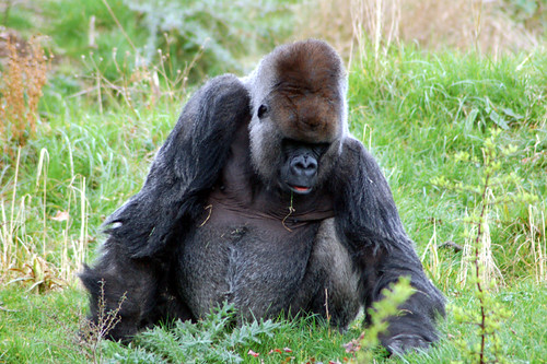 Another Silverback Smile