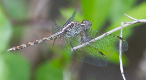 young male Band-winged Dragonlet