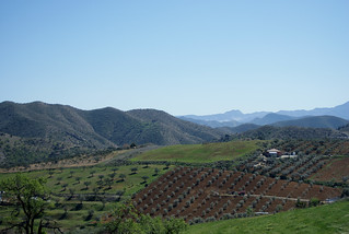 Olive Trees In Andalusia