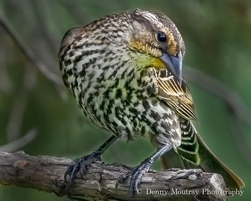 Pine Siskin - Close Up