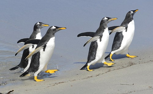 Gentoos on the Beach by RV Bob